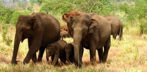 Sri-Lanka-Udawalawe-Olifanten1