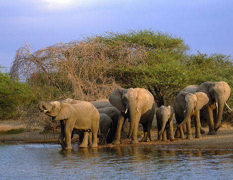 Olifanten in het Krugerpark in Zuid-Afrika