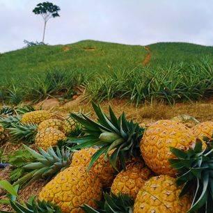 Colombia-Bucaramanga-Ananasplantage-5