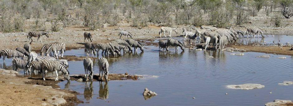 Namibie-Etosha-Kudde-Zebras
