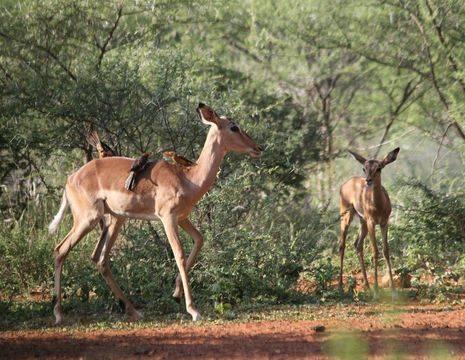 Zuid-Afrika-Limpopo-Impala