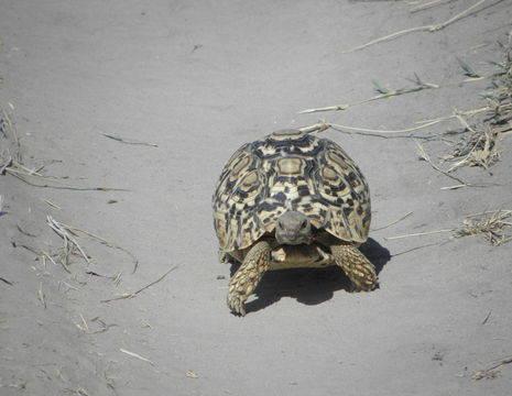 Botswana-Okavango-Schildpad-1_1_365894