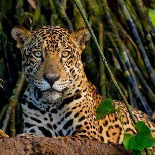 TambopataJungle-luipaard