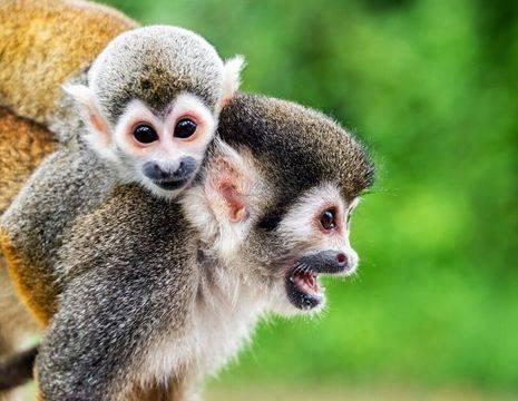 Ecuador-Amazone-aapjes