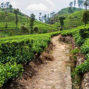 Sri-Lanka-Haputale-theevelden-wandelen