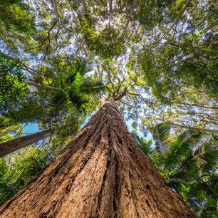 Australie-Fraser-Island-bomen