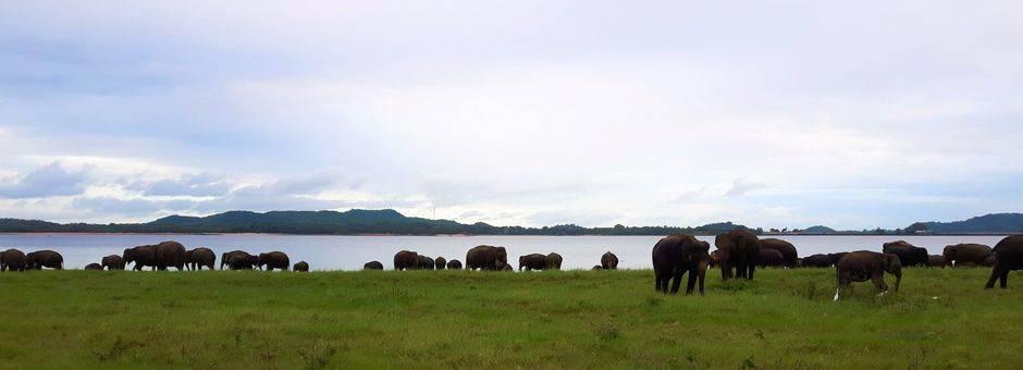 Sri-Lanka-Minneriya-olifanten