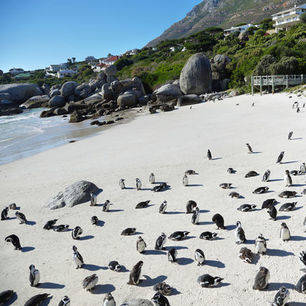 Zuid-Afrika-Kaapstad-pinguins_4_295338