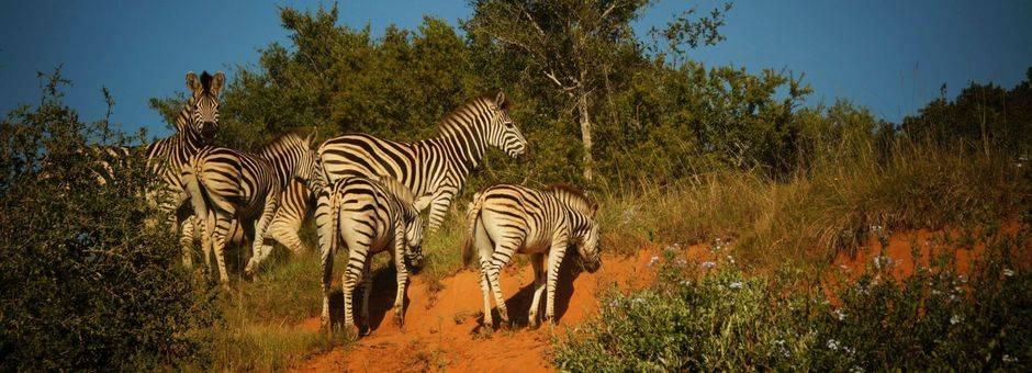Addo-Elephant-Park-Zebra-1