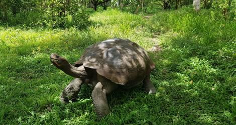 Landschildpad op Santa Cruz, Galapagos
