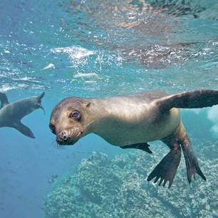Galapagos-Isabela-zeeleeuwen