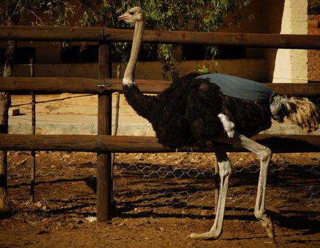 Zuid-Afrika-Oudtshoorn-Struisvogel1_3_346068