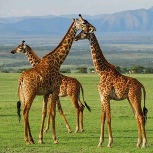 Afrika-Tanzania-Ngorongoro-giraffe_4_311477