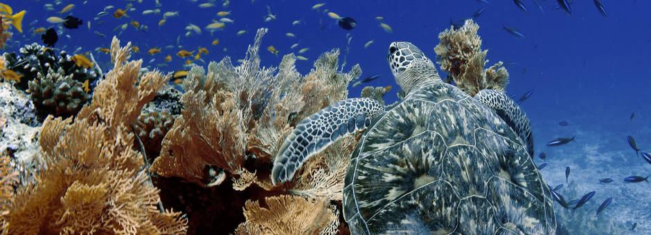 Indonesie-onderwater-schildpad