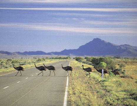 Australie-Flinders-Ranges-emoes-2