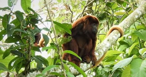 Ecuador-fauna-howler-monkey_1_530538