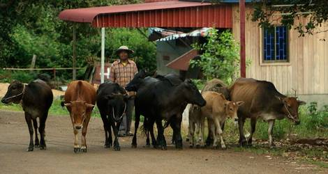 Cambodja-Mondulkiri-Koeien