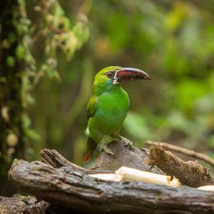 Ecuador-Mashpi-vogel_1_530863