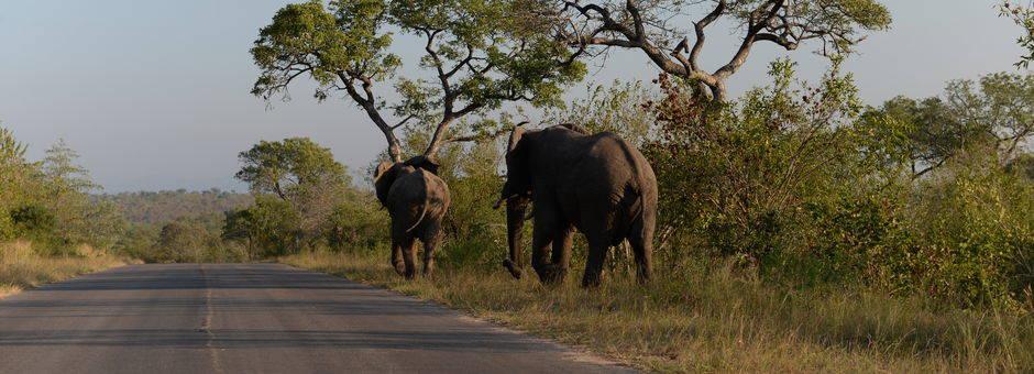 Het Krugerpark kent verharde wegen, de olifanten lopen liever in het gras, Zuid-Afrika