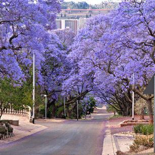 Zuid-Afrika-Pretoria-Jacarandabomen_3