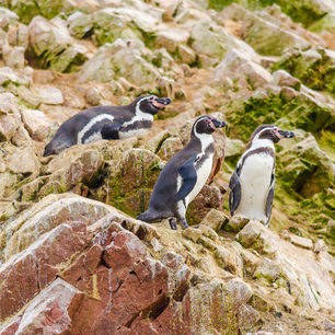 Peru-Islas-Ballestas-Pinguins-op-de-rotsen_3_338688