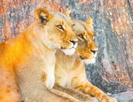Etosha safari leeuw (13)