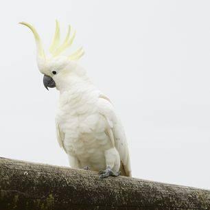 Australie-Lamington-Park-kaketoe
