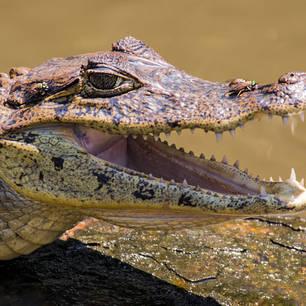 Tortuguero-NP-23-krokodil(10)