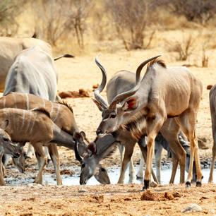 Etosha kudu shutterstock_229482478(10)