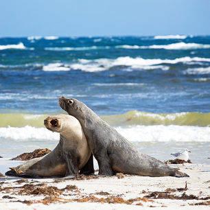 Australie-Kangaroo-Island-zeehonden