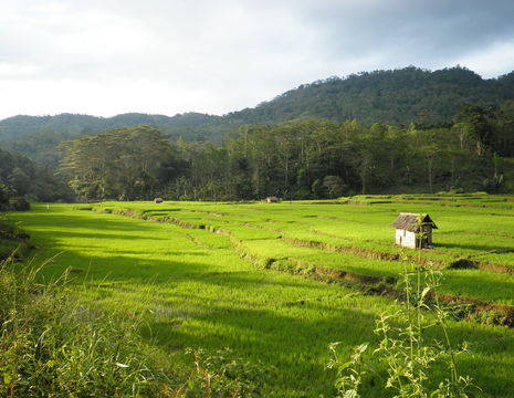 Indonesie-Flores-rijstveld