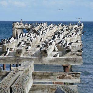 Chili-Punta-Arenas-vogels-bij-de-kust