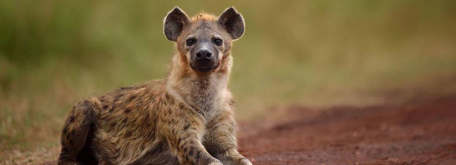 Zuid-Afrika-Fauna-Hyena_2_297074