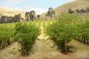 Australie-Barossa-Valley-wijngaarden