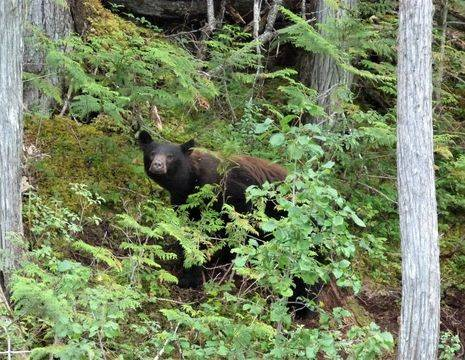 Canada-Wells-Gray-grizzly-beer_1_587662