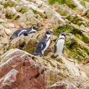 Peru-Islas-Ballestas-Pinguins-op-de-rotsen_2_338688