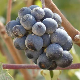 Argentinie-Mendoza-rode-druiven