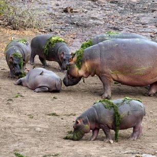 Zuid-Afrika-Nijlpaarden