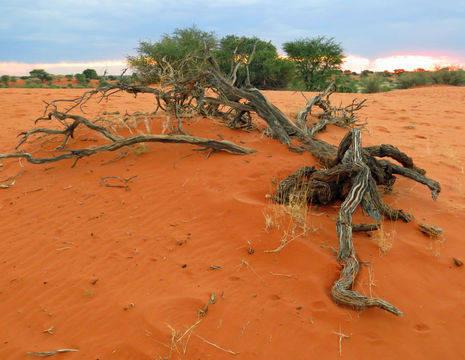 Kalahari (13)