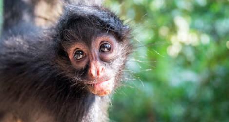 Apen in Madidi National Park - Bolivia
