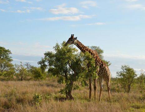 Krugerpark-Giraffe-2_1_348972