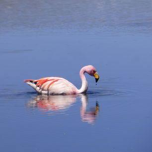 Bolivia-Uyuni-flamingo-2