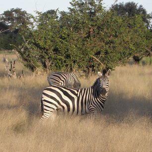 Botswana-Khwai-Zebra1_1_376266
