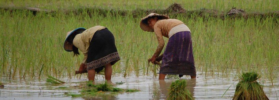 Laos-VangVieng-rijst_1