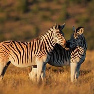 Mooie zebra's, Zuid-Afrika