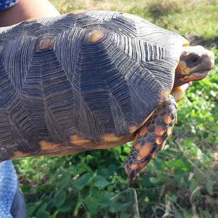 Colombia-Los-Llanos-schildpad