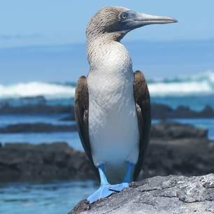 Blauwvoet Jan van Gent op de Galapagos