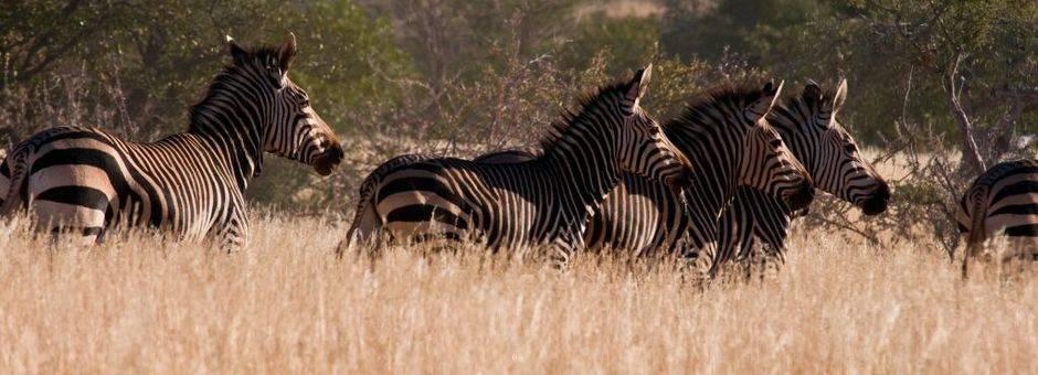 Zebras Etosha(11)