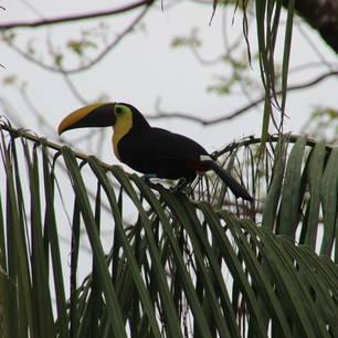 Costa-Rica-Tortuguero-Toekan(5)