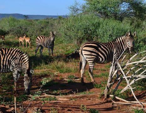 zebra-impala_1_347804